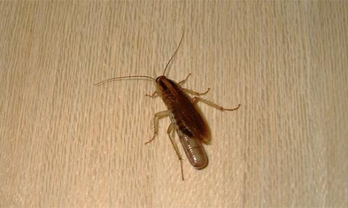 ที่แมลงสาบซ่อนตัวอยู่ในอพาร์ตเมนต์ ...