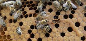การใช้ยารักษาโรคจากผึ้งผีเสื้อ