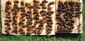 วิธีการอย่างมีประสิทธิภาพจัดการกับ Hornets และนำพวกเขาไปที่กระท่อมหรือผึ้ง