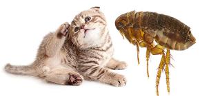 แมวหมัด: วิธีที่พวกเขาดูและเป็นอันตรายต่อมนุษย์