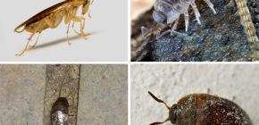 ชนิดของแมลงที่สามารถอาศัยอยู่ในอพาร์ตเมนต์และภาพถ่ายของพวกเขา
