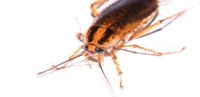 วิธีการรักษาที่มีประสิทธิภาพสำหรับแมลงสาบ Global (Globol)