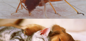 แมลงกัดสัตว์เลี้ยงภายในบ้าน (แมว, สุนัข, ไก่)?