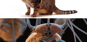 แมวมีหนูและวิธีการกำจัดปรสิตขนาดเล็กออกจากสัตว์เลี้ยง