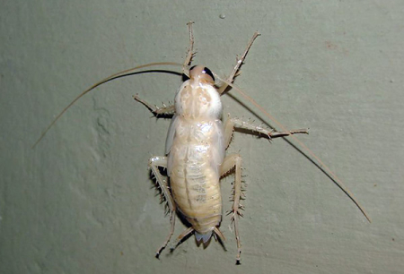 แมลงสาบสีขาวในอพาร์ตเมนต์ - ชนิดของ albinos พวกเขา?