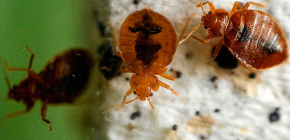 สิ่งที่ควรจะเป็นความตายของ bedbugs ในอพาร์ทเม้น: การตรวจสอบวิธีการที่เชื่อถือได้และเคล็ดลับที่เป็นประโยชน์