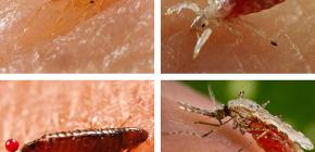 ชนิดของแมลงดูดเลือดสามารถพบได้บนเตียงหรือที่นอน