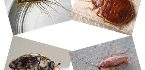 ชนิดของแมลงในประเทศสามารถพบได้ในที่อยู่อาศัยของมนุษย์: ปรสิตและแมลงศัตรูพืช