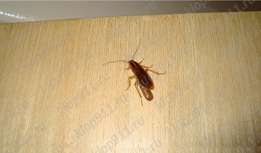 หญิงแมลงสาบที่มีไข่ (บวมน้ำ)