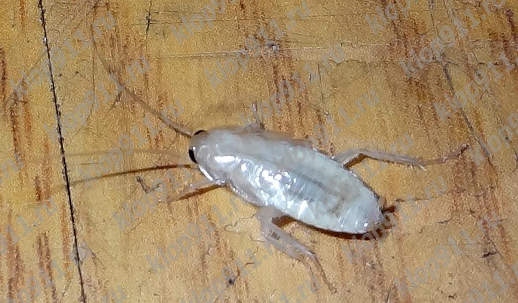 แมลงสาบ Albino