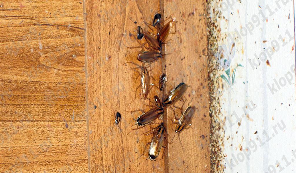 แบคทีเรียในแมลงสาบ