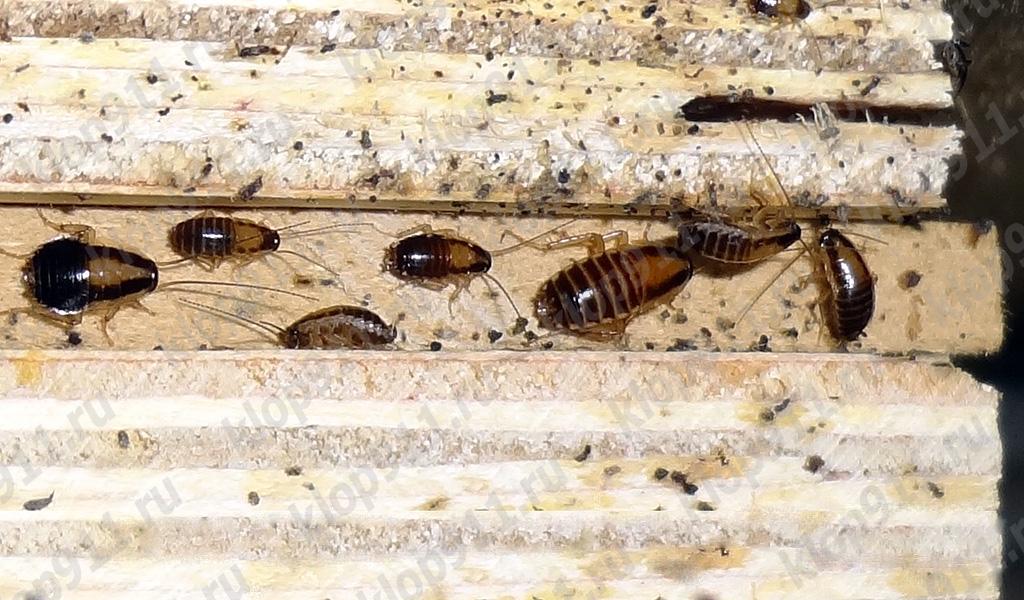 การสะสมของแมลงสาบสีแดงนางไม้ในเฟอร์นิเจอร์